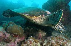 BD-070402-Similan--Eretmochelys-imbricata-(Linnaeus.-1766)-[Hawksbill-turtle.-Karettsköldpadda]-2.jpg